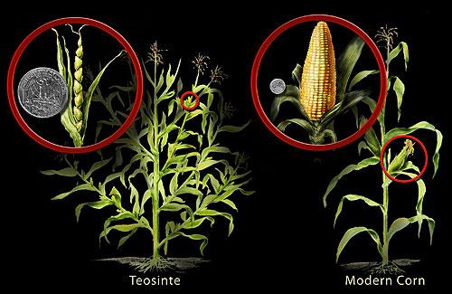 L'épi de teosinte est beaucoup plus petit que celui du maïs moderne