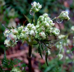 Fleur d'Ambroisie dont le pollen est très allergène